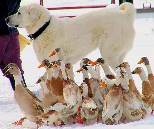 dog snow ducks indianrunnerducks c2100 featheryfriday akbashdog livestockguardiandog
