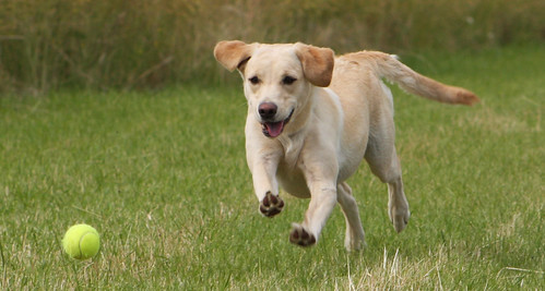 yellow Labrador chasing a ball