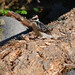 Small photo of Hairy Woodpecker at Longmire