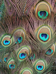 peafowl(0.0), fauna(0.0), bird(0.0), feather(1.0), close-up(1.0),