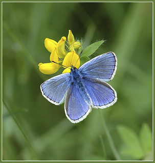 Male common blue butterfly (polyommatus icarus)