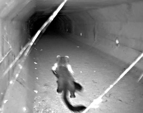 Fisher celebrity kitty