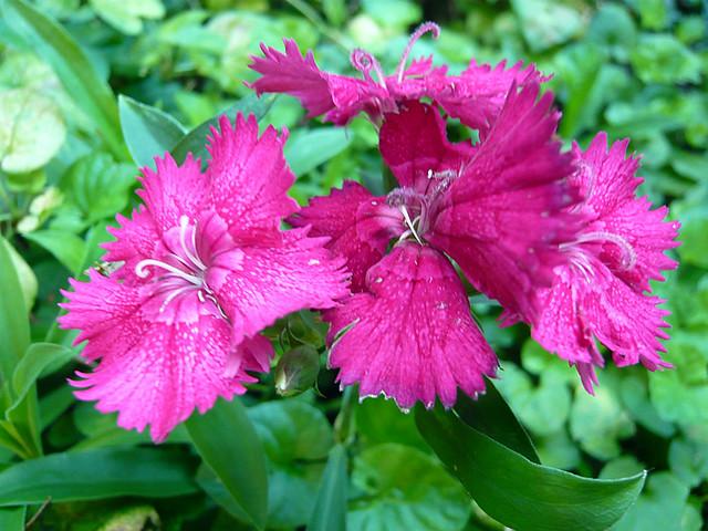 Oeillet de chine flickr photo sharing - Oeillet de chine ...