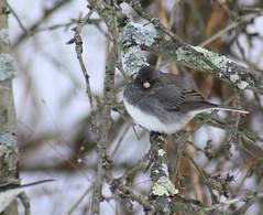 flower(0.0), winter(0.0), finch(0.0), chickadee(0.0), house sparrow(0.0), brambling(0.0), animal(1.0), sparrow(1.0), branch(1.0), nature(1.0), fauna(1.0), junco(1.0), beak(1.0), bird(1.0), wildlife(1.0),