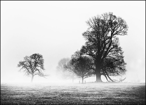 Ancient trees in the mist.