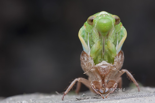 Cicada emergence IMG_8442 copy