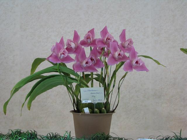 Орхидеи на даче (в саду, огороде, открытом балконе) - Страница 3 2290289213_eceee68108_z