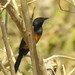 Black-vented Oriole - Photo (c) Len Blumin, some rights reserved (CC BY-NC-ND)
