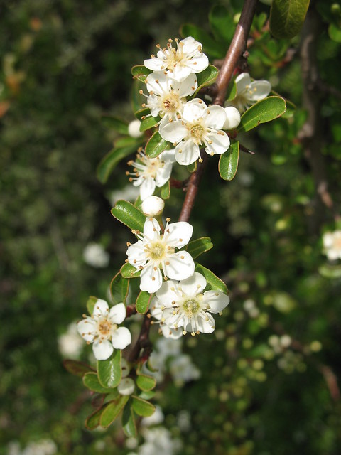 Shrub with small white flowers flickr photo sharing for White flowering bush