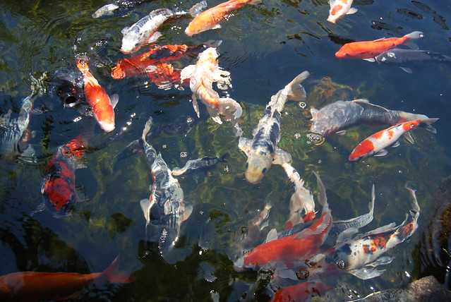 laguna koi ponds flickr photo sharing