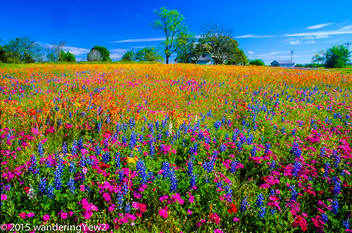 film landscape texas wildflowers phlox filmscan texaswildflowers coloradocounty mixedwildflower industrytexas