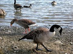 Geese at Derwent Water
