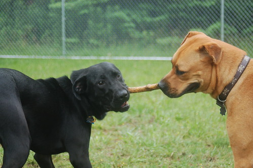 2 dogs fighting over a stick