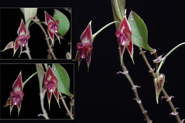Lepanthes zamorensis