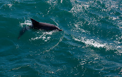 great white shark(0.0), shark(0.0), requiem shark(0.0), animal(1.0), marine mammal(1.0), fish(1.0), sea(1.0), marine biology(1.0), short-beaked common dolphin(1.0), wind wave(1.0),