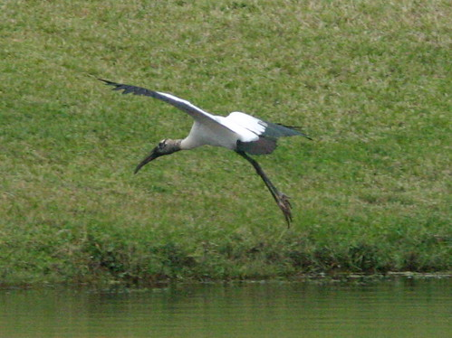 Wood Stork 20081225