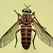 deer flies - Photo (c) Michael Jefferies, some rights reserved (CC BY-NC)