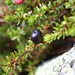 Small photo of Crowberry