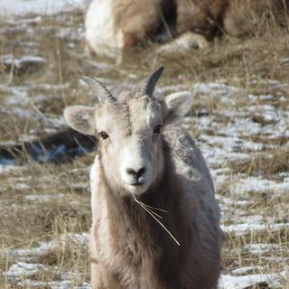 SheepCapture_February20,2014 063
