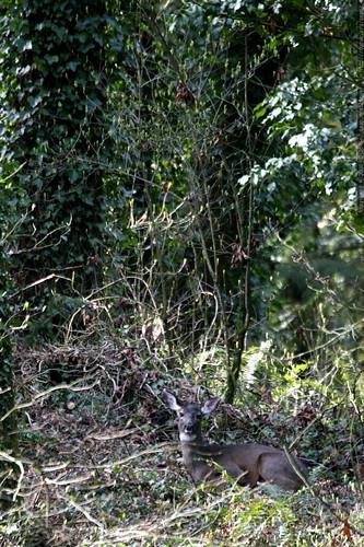 deer lazing in our backyard    MG 9975