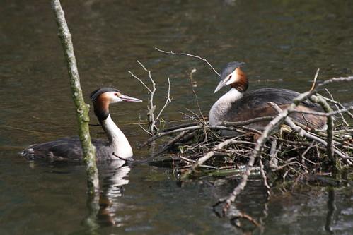 Futen in een meerkoet-nest