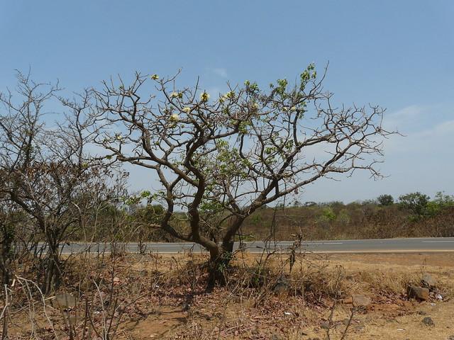 Kumbhi (Telugu: కుమ్భూ) | Flickr - Photo Sharing!