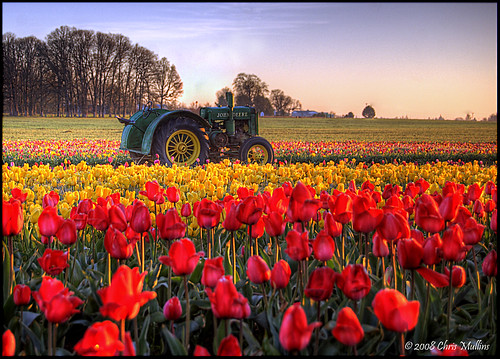 Tractor Loose Among the Tulips