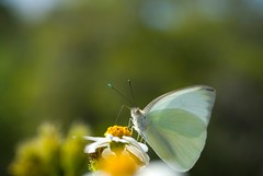 nectar(0.0), leaf(0.0), colias(0.0), arthropod(1.0), pollinator(1.0), animal(1.0), moths and butterflies(1.0), butterfly(1.0), flower(1.0), yellow(1.0), wing(1.0), nature(1.0), invertebrate(1.0), macro photography(1.0), flora(1.0), green(1.0), fauna(1.0), cabbage butterfly(1.0), close-up(1.0),