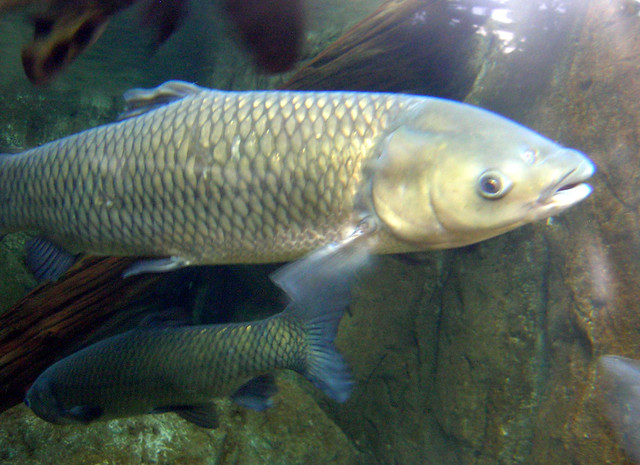 Grass carp flickr photo sharing for Grass carp fish