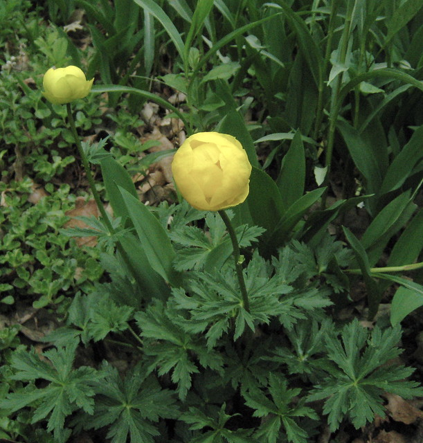Trollius flickr photo sharing for Plants to grow in garden
