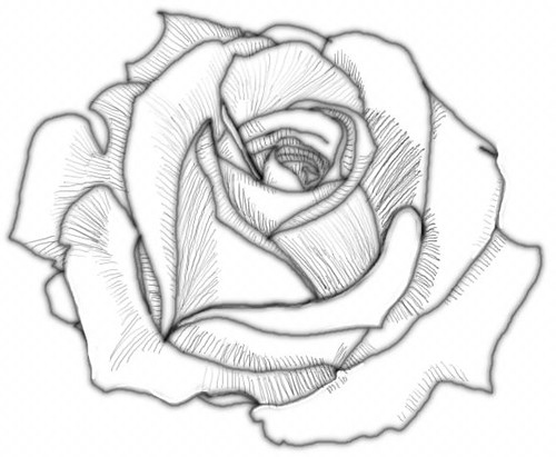 Tattoo Line Drawing Software : Rose values flickr photo sharing