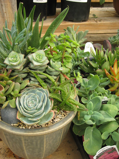 cactus and succulent dish garden flickr photo sharing