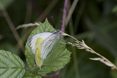 arthropod, pollinator, animal, moth, moths and butterflies, butterfly, leaf, nature, invertebrate, flora, green, fauna, cabbage butterfly, close-up,