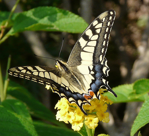 swallowtail in September
