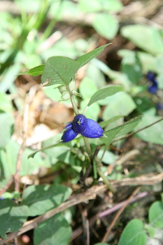 Coccocypselum herbaceum (Rubiaceae)