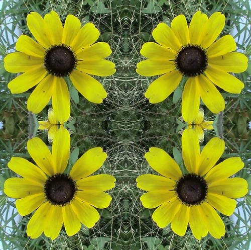Black-Eyed Susan Kaleidoscope Effect 001