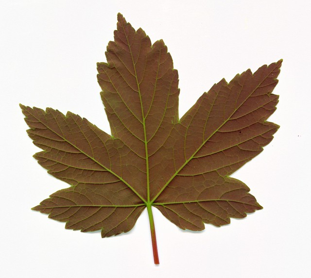 Sycamore Leaf Flickr Photo Sharing