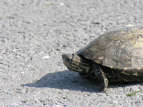 Teknősbéka az Aranyszav-öbölnél