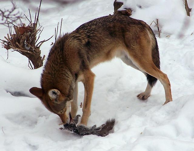 Wolf eating rabbit - photo#43