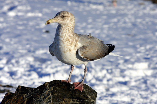 Winter Island Sea Gull
