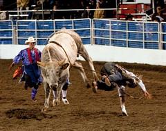 western riding(0.0), equestrian sport(0.0), charreada(0.0), barrel racing(0.0), animal sports(1.0), rodeo(1.0), cattle-like mammal(1.0), bull(1.0), event(1.0), sports(1.0), bull riding(1.0),