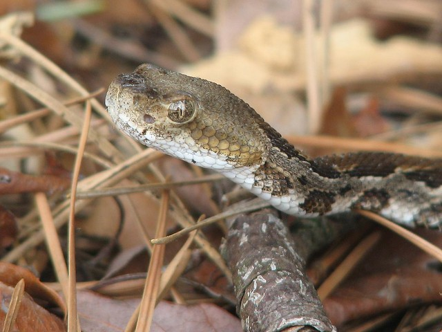 Juvenile Timber Rattlesnake   Flickr - Photo Sharing!