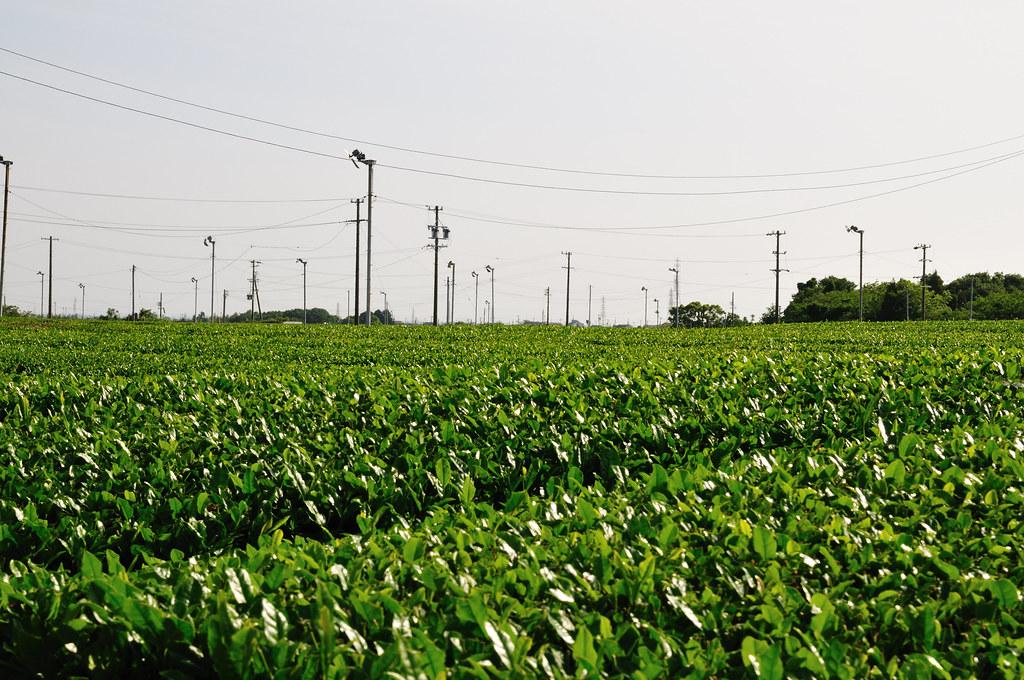 tea plantation_09