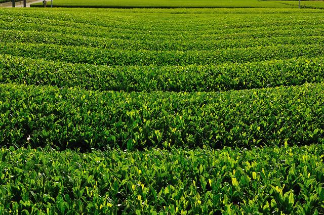 tea plantation_10