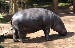 domestic pig(0.0), rhinoceros(0.0), animal(1.0), hippopotamus(1.0), zoo(1.0), fauna(1.0),
