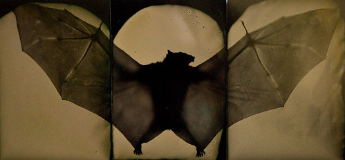 Bat Triptych | by Phil Nesmith