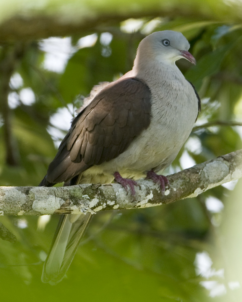 Pigeon Mountain Mountain Imperial Pigeon
