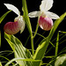 showy lady's slipper - Photo (c) Mr.OutdoorGuy, some rights reserved (CC BY-NC-ND)