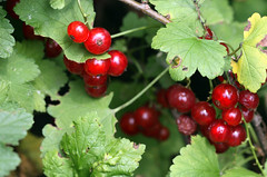 berry, fruit, currant, gooseberry, hawthorn,