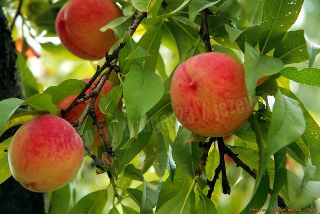 peaches prunus persica 80 flickr photo sharing. Black Bedroom Furniture Sets. Home Design Ideas